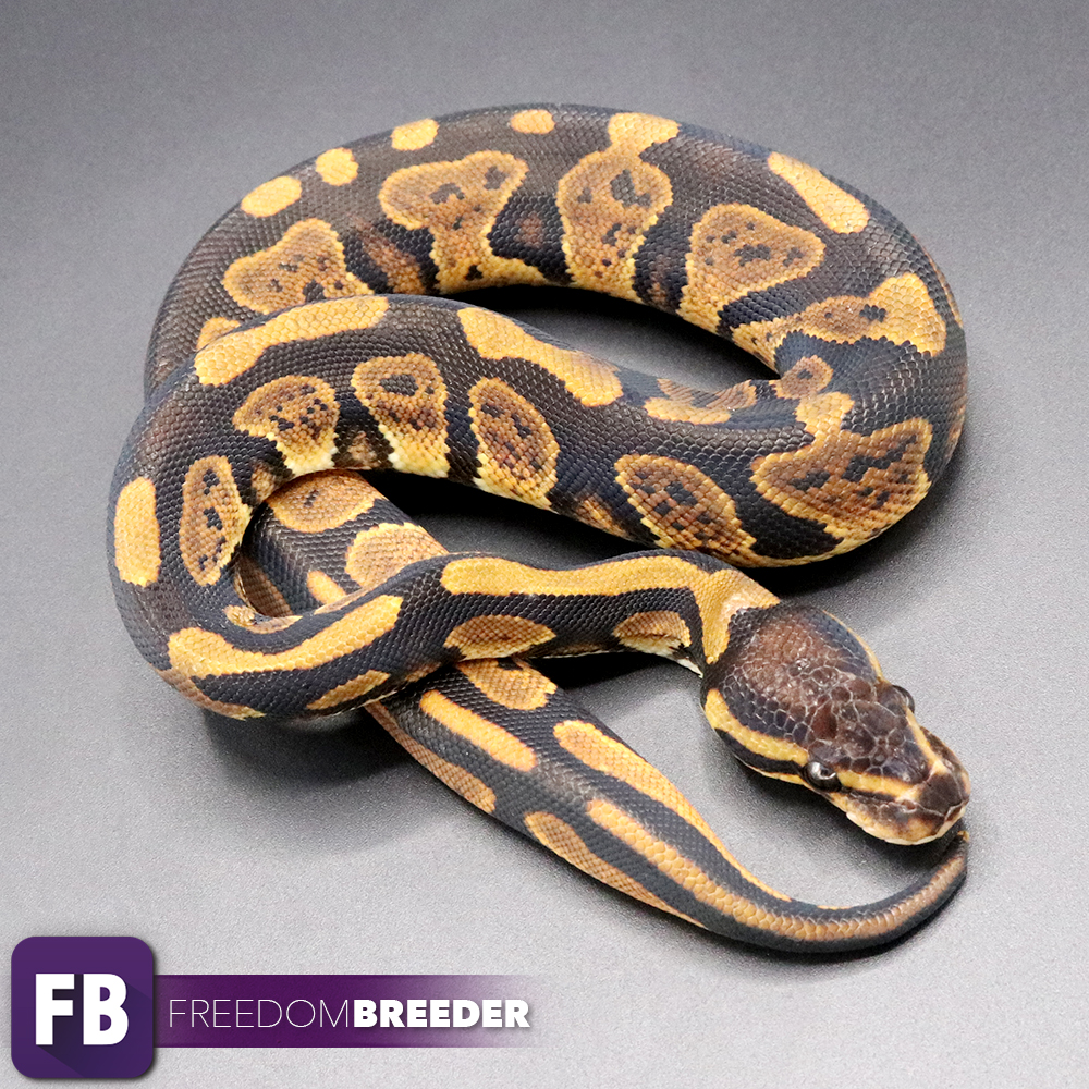 African Imports Gallery - Freedom Breeder Ball Pythons