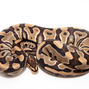 Female Cryptic 66% poss het Caramel